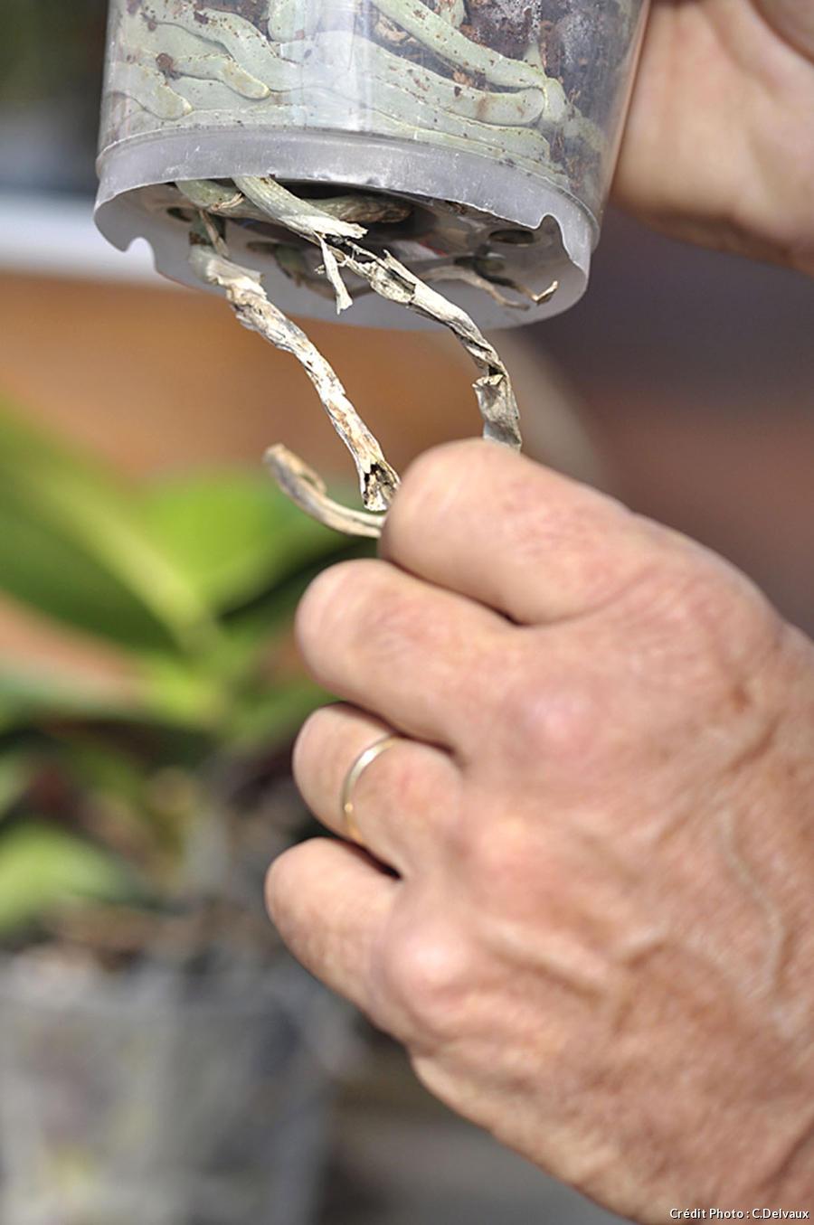 Couper les racines d'une orchidée