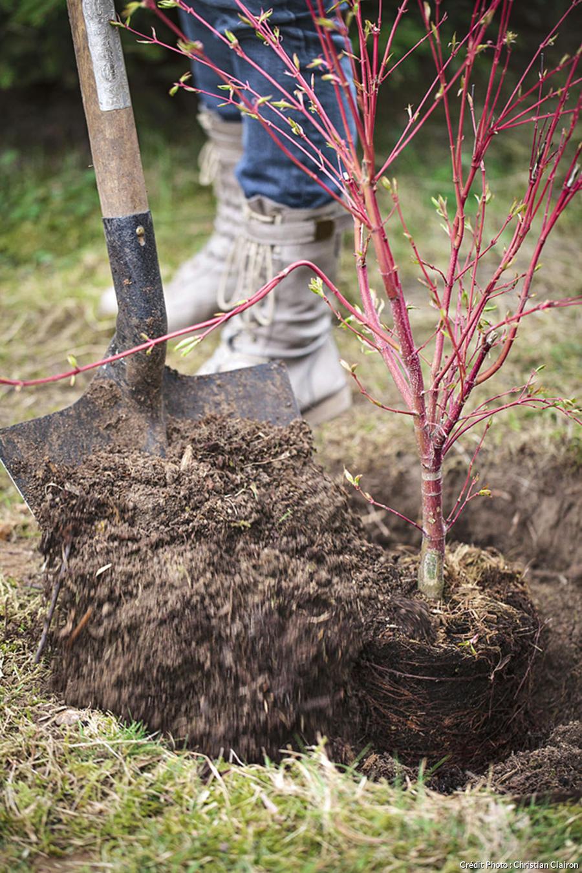 Plantation l'arbuste en pot