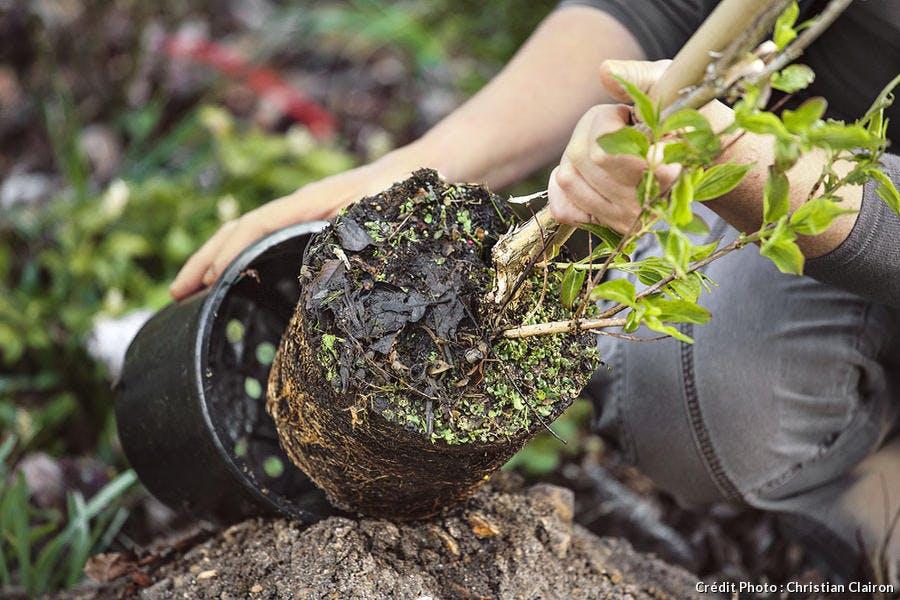 Plantation d'un arbre en pot