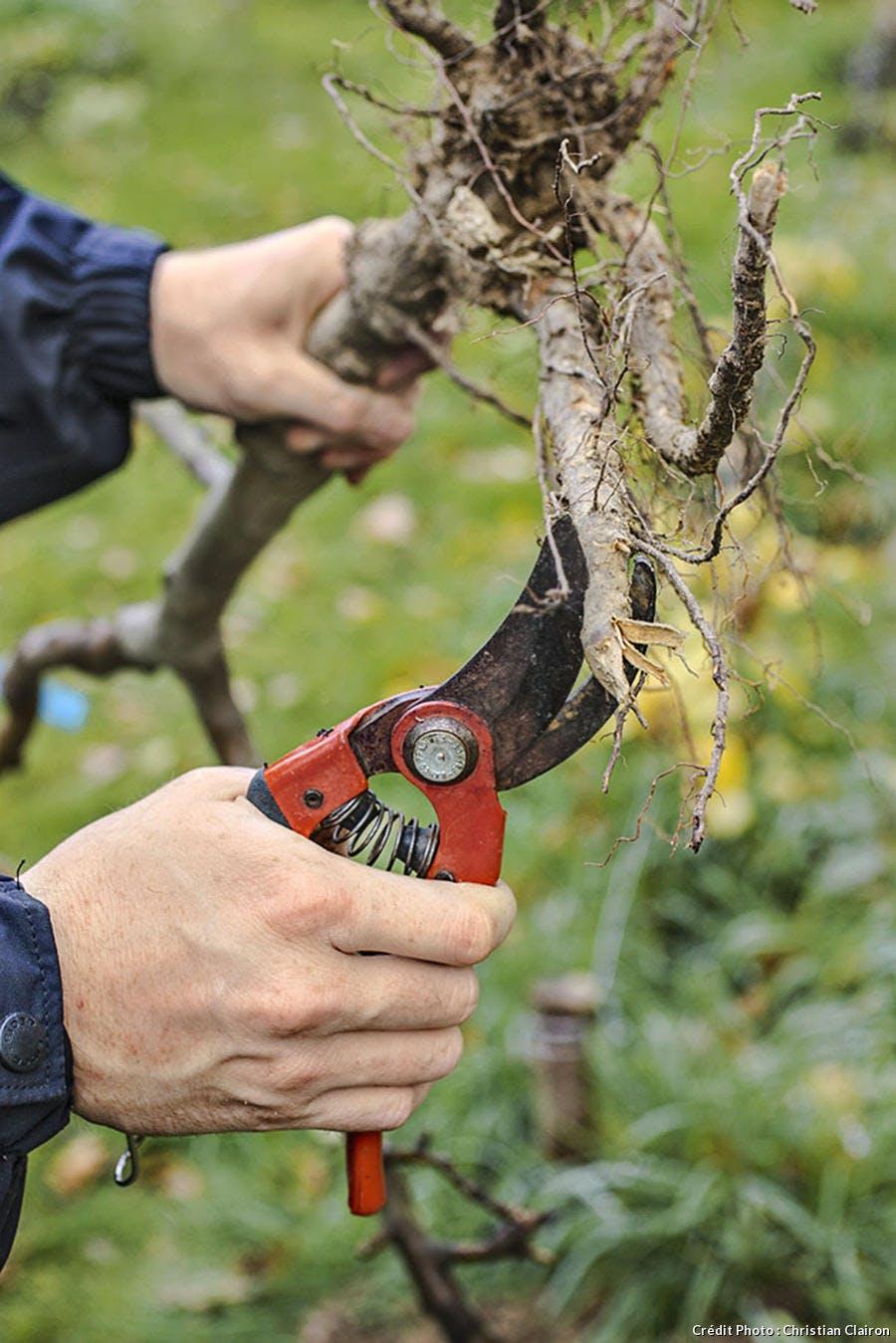 Couper l'extrémité des racines