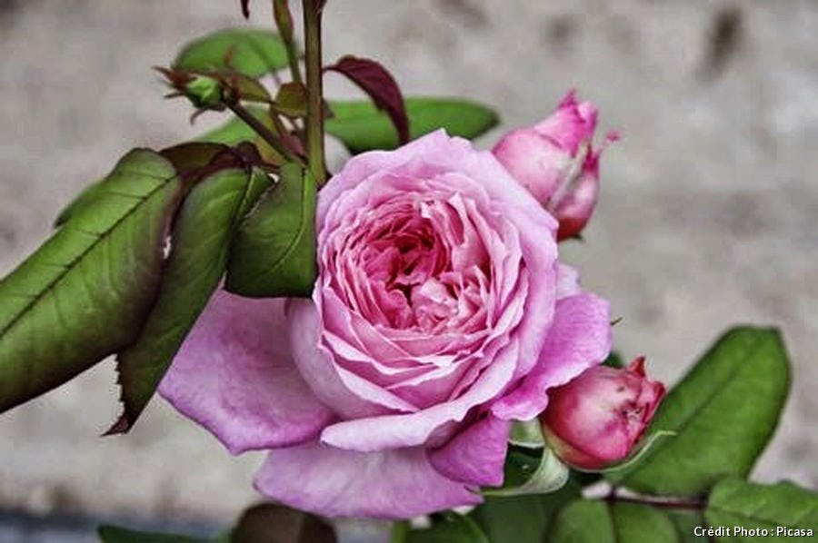 Rose 'Anne-Sophie Pic'