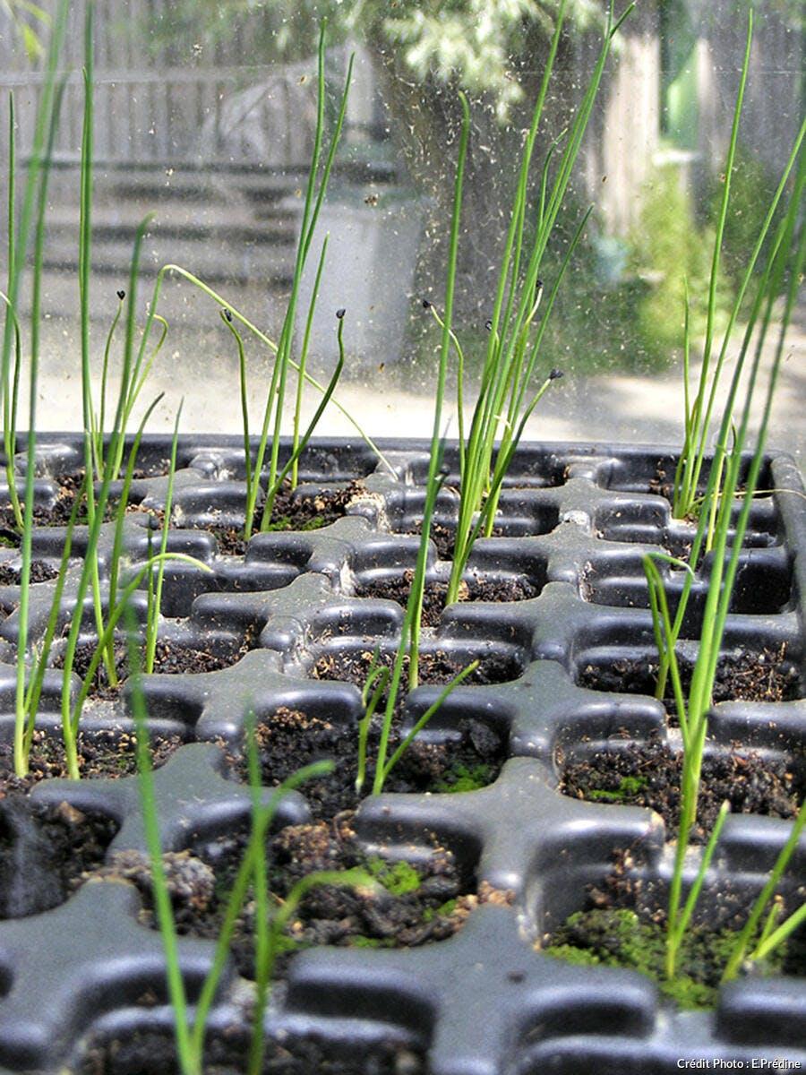 Oignon Blanc A Planter semer les oignons blancs - détente jardin