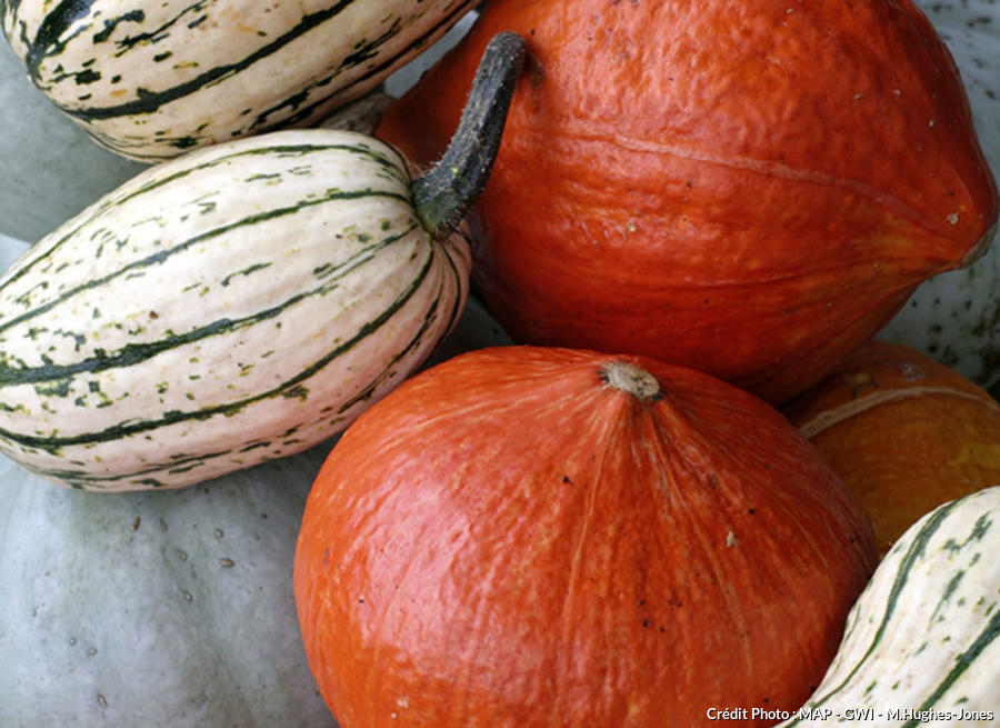 Courges cueillies