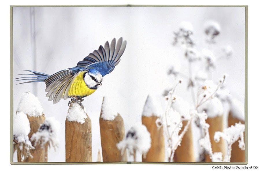 Une mésange bleue dans la neige