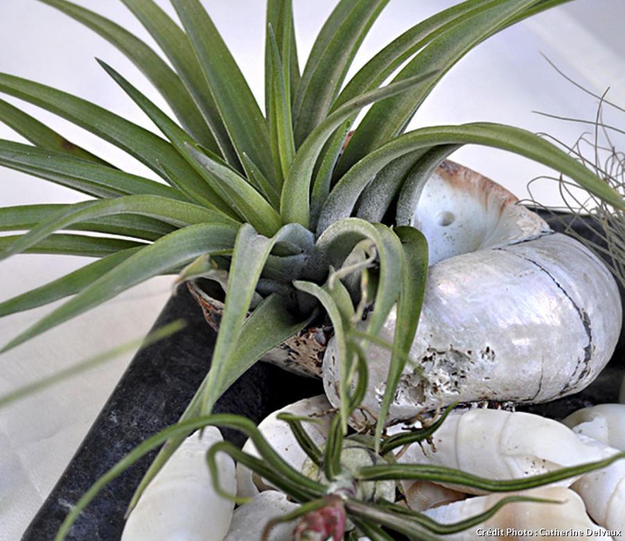 Composition de tillandsia avec des coquillages et des cailloux