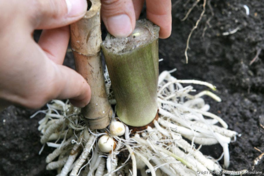 Plantation arum