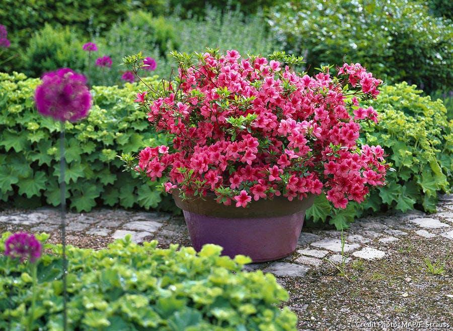 Plantes azalées