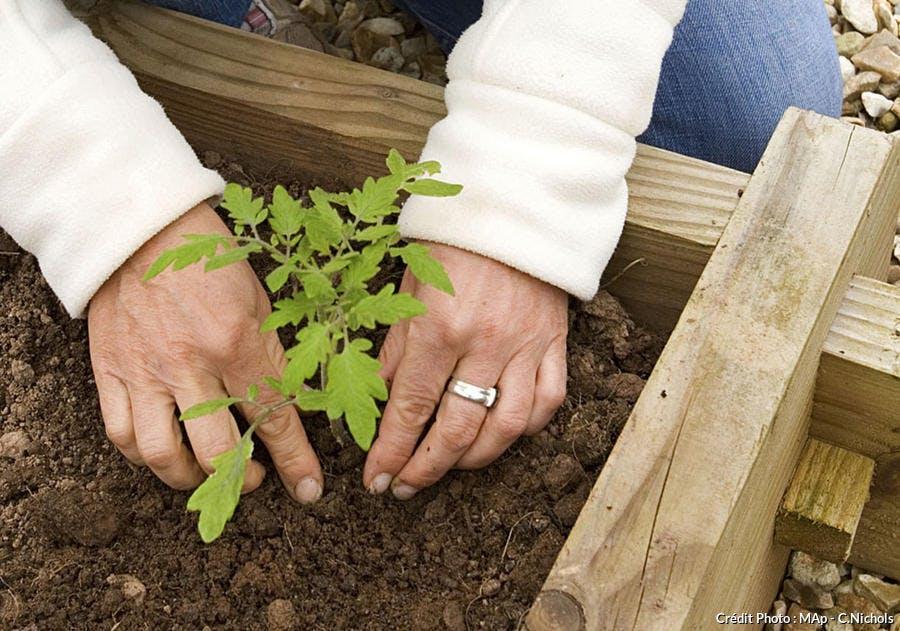 plant greffé de tomate