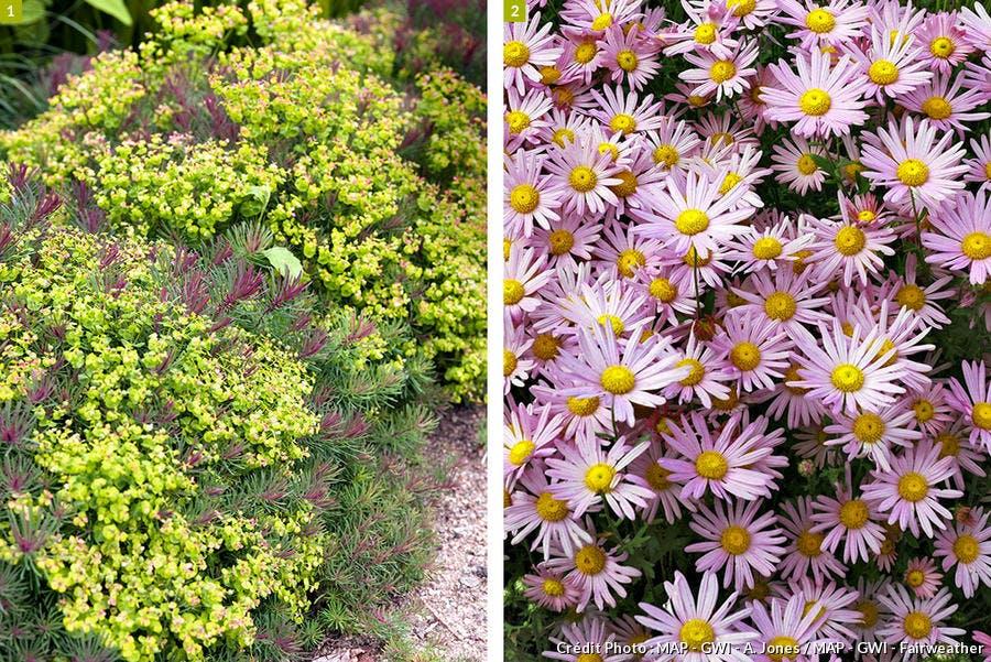 euphorbe et chrysanthème