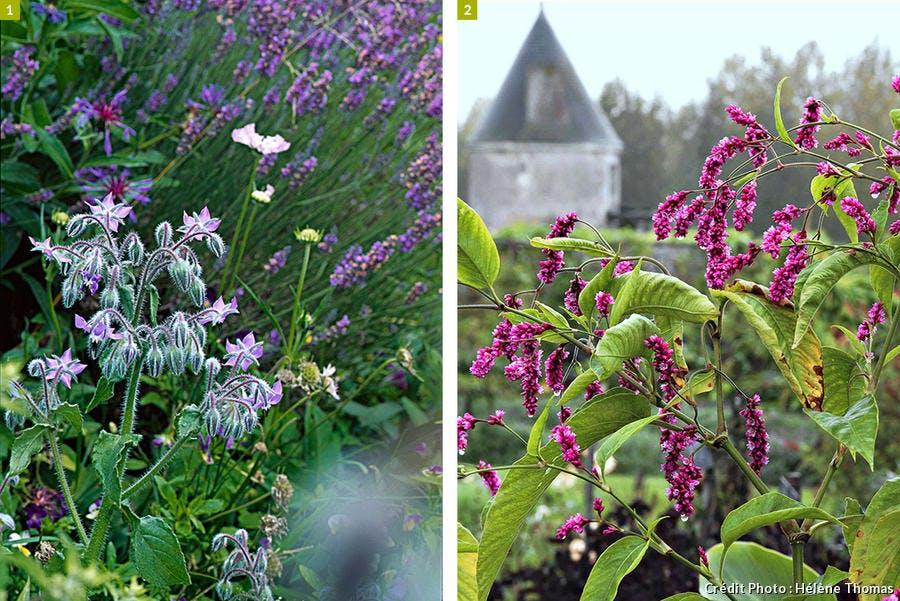 bourrache et jolies fleurs tardives