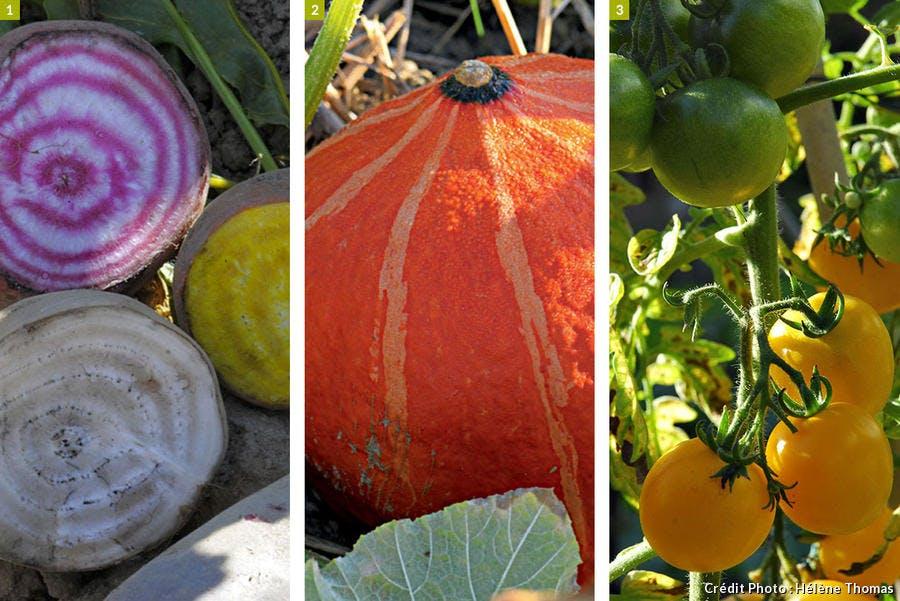 betterave, cucurbitacées, tomate