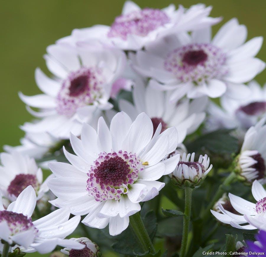 Chrysanthenum rubellum