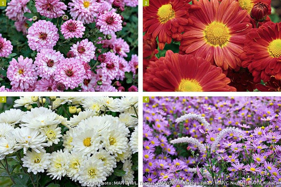 Variétés de chrysanthèmes