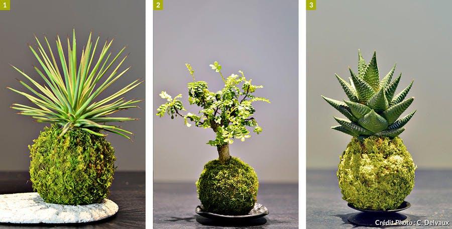 Trois variétés de kokedama