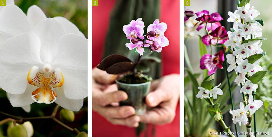 Trois variétés de phalaenopsis