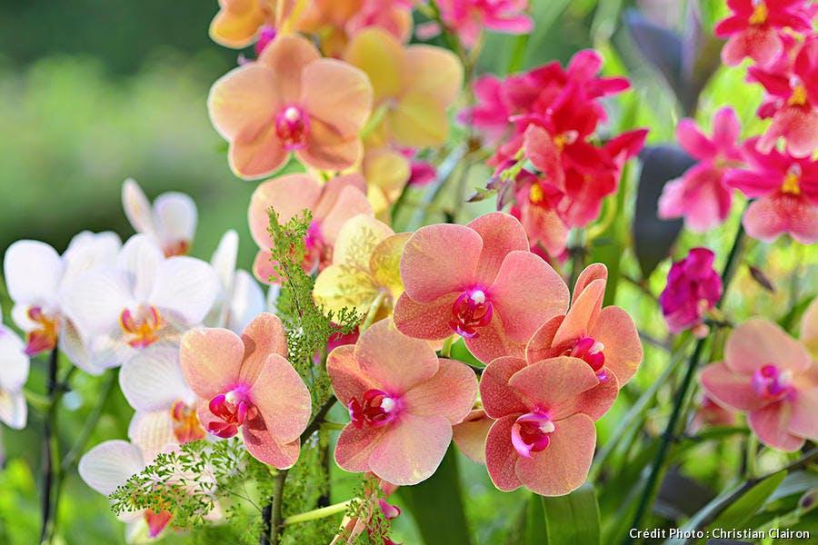 Orchidées papillon