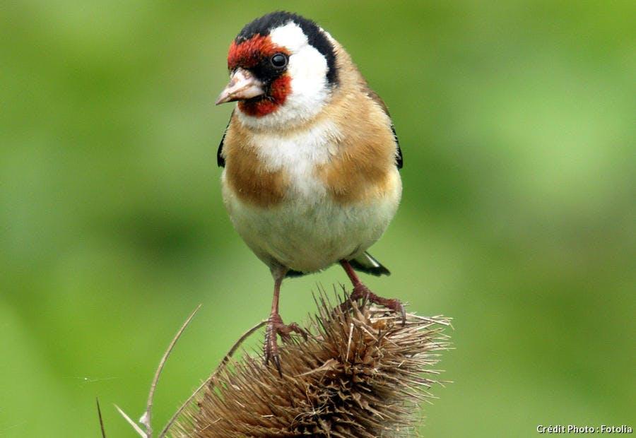 Oiseau chardonneret élégant