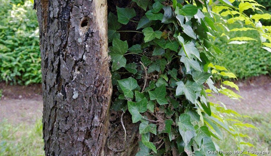 lierre sur un arbre