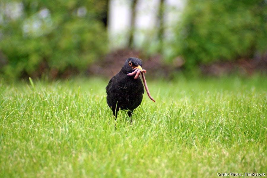 merle sur la pelouse