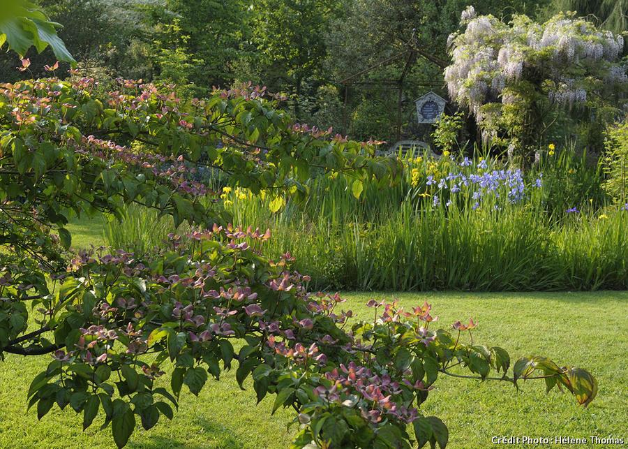 Jardin des Lianes, cornouillers roses