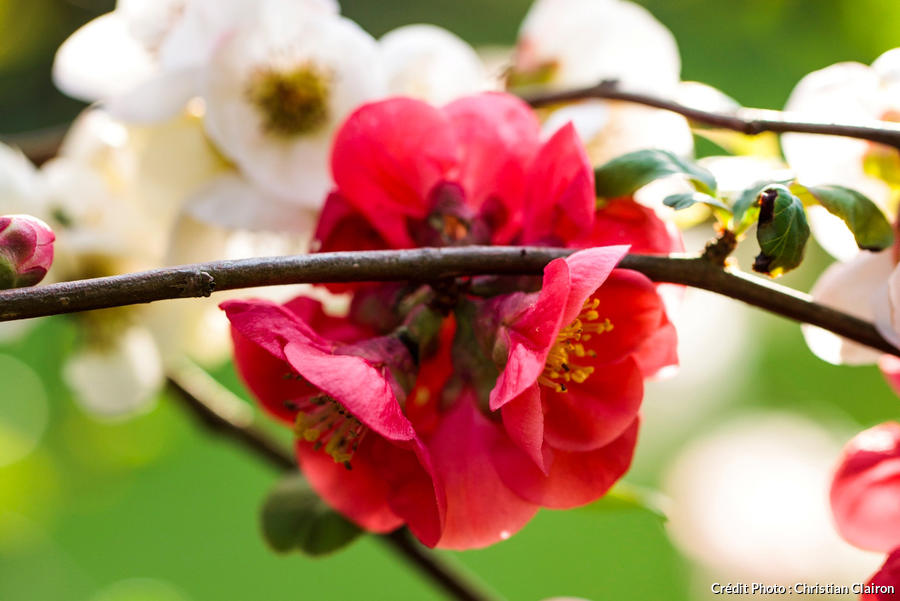 Cognassier du Japon : les plus belles variétés de pommier du ...
