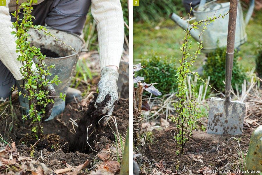 Plantation et arrosage du cognassier du Japon