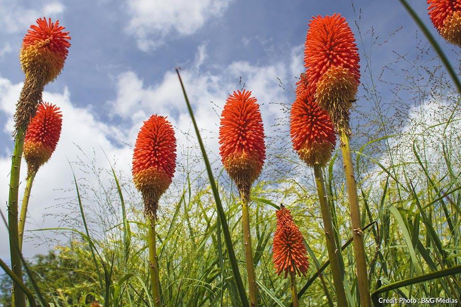 kniphofia orange en fleur dans un massif