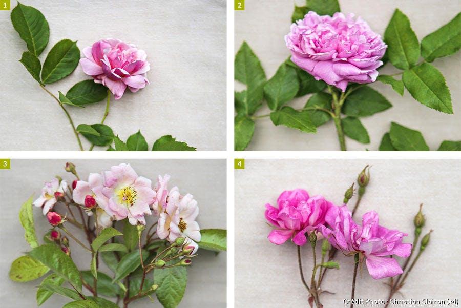 Composition de 4 différentes roses anciennes