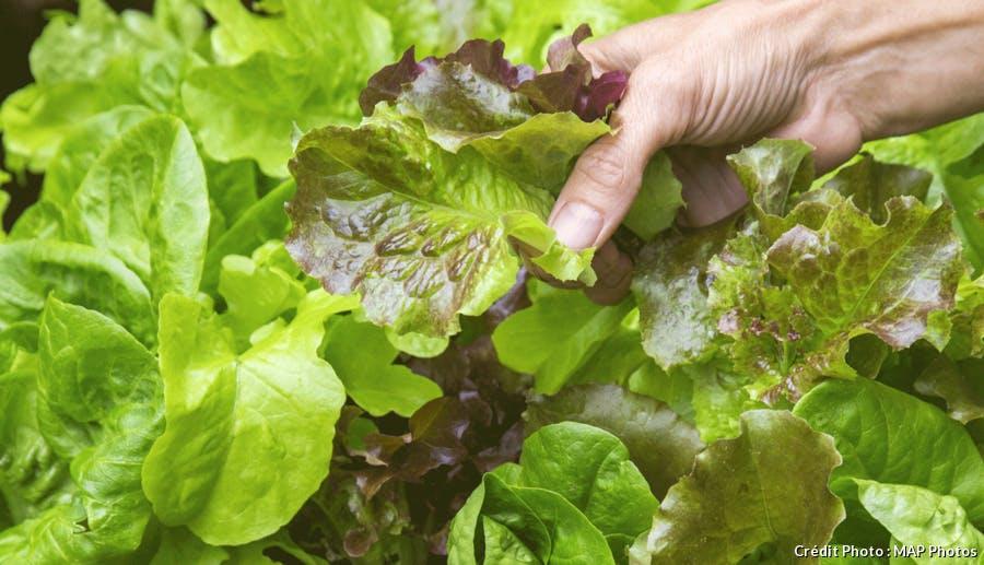 Récolter sa salade feuille à feuille