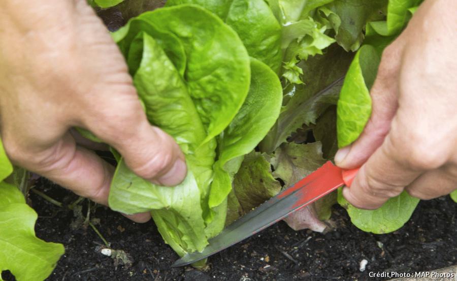 Récolter sa salade avec les pommes entières