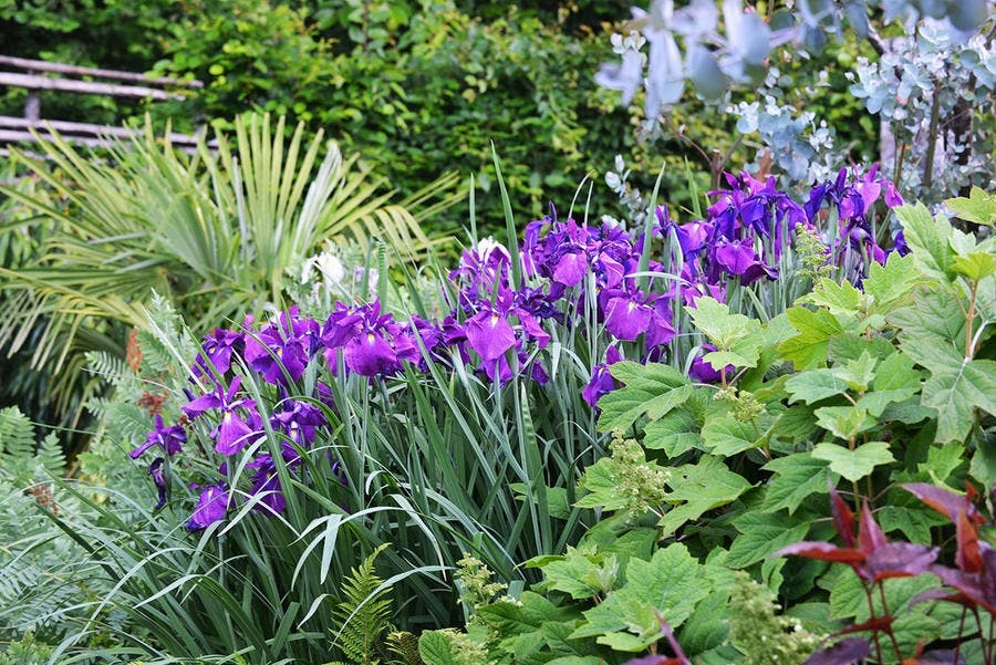 Jardin rêve de Pan Iris de Sibérie