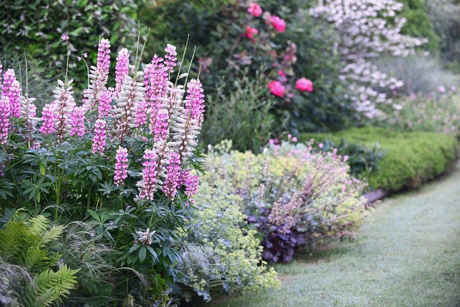 Jardin rêve de Pan lupins