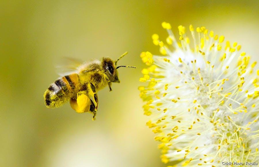 abeilles avec pattes chargées de pollen