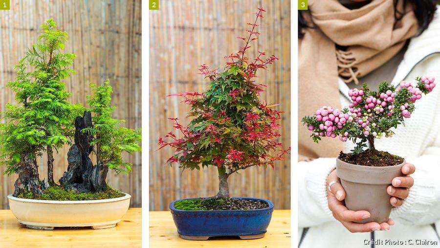 Trois différents types de bonsaï