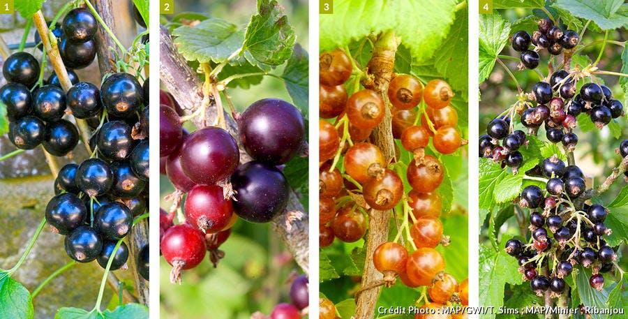 4 variétés de cassissiers