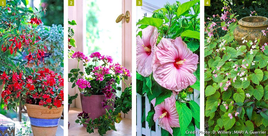 Impatiences, pélargoniums, hibiscus, bégonias