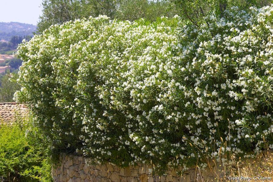 Haie Laurier-rose