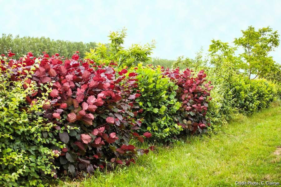 Les 6 plantes à privilégier pour une haie de jardin | Détente Jardin