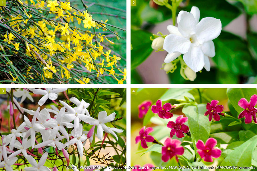Différentes espèces de jasmins