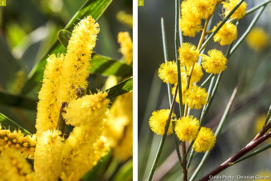 Différence entre les mimosas