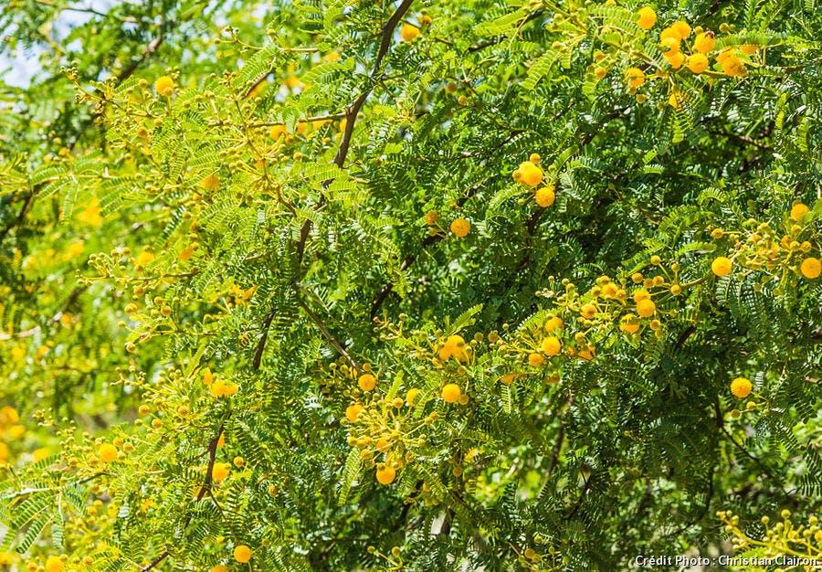 Buisson de mimosa
