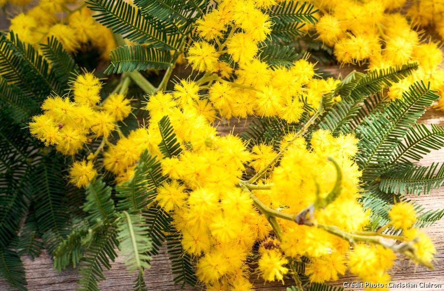 Zoom sur les mimosas