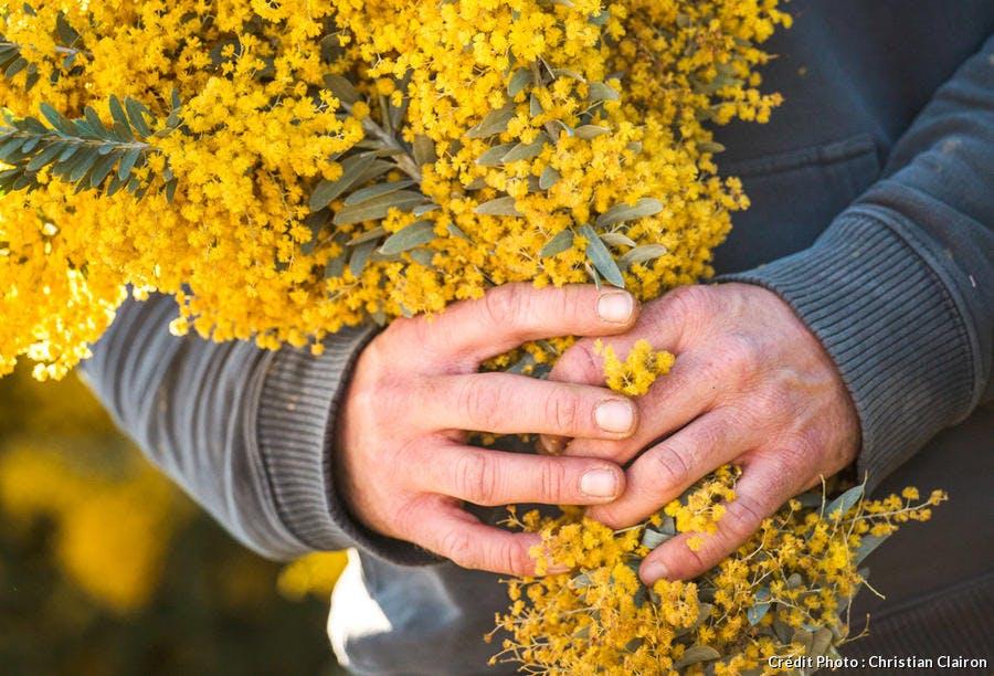 Bouquet de mimosa dans les mains du jardinier