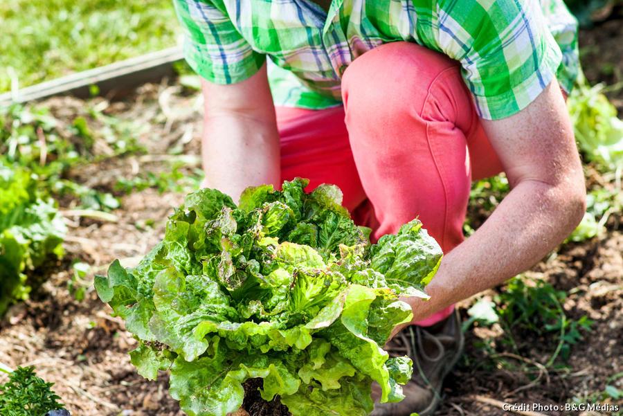 Jardinière en train de planter de la laitue