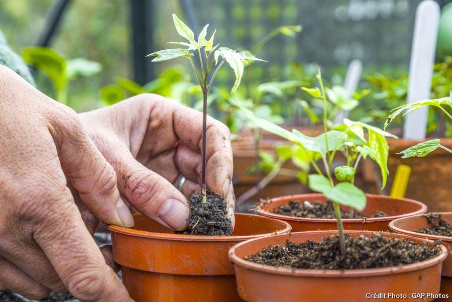 Repiquer les plants de mina lobata