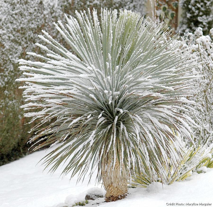 Yucca rostrata neige