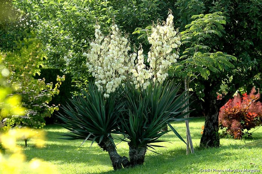 Yucca gloriosa floraison
