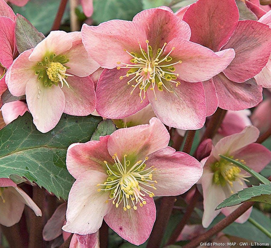 Les hellébores hybrides ericsmithii