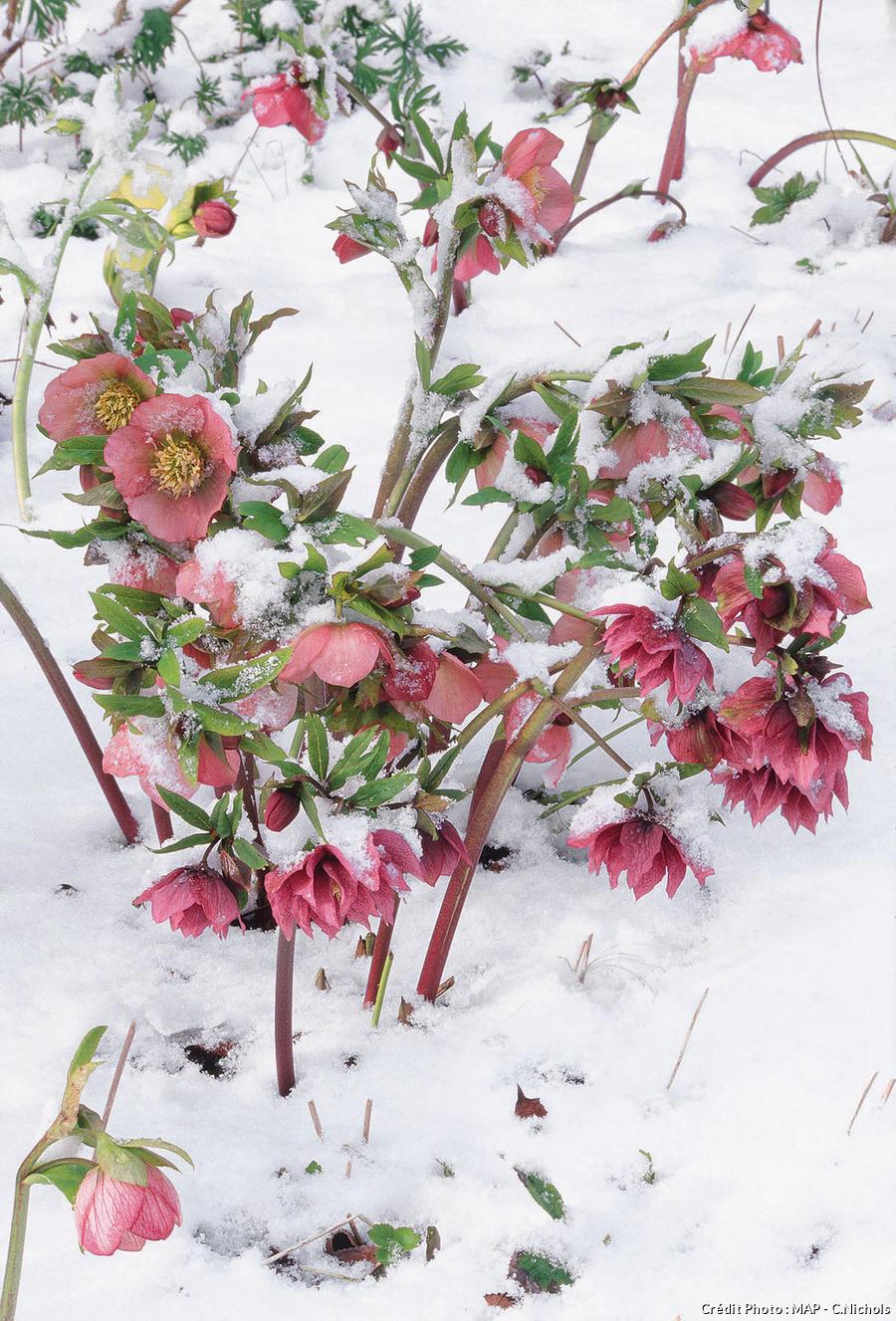 Hellébores hybrides sous la neige.