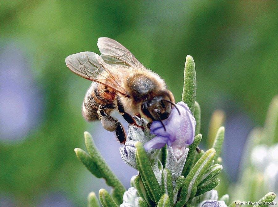 abeille sur fleur de romarin